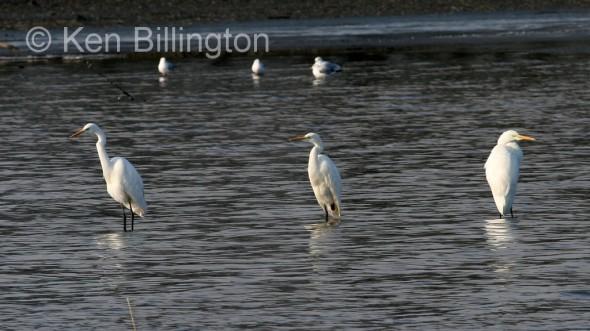 Great White Egret (Casmerodius albus) (5)