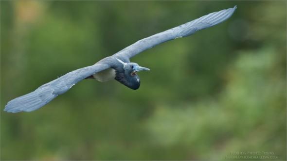 Florida Photo Tours - Tricolored Heron
