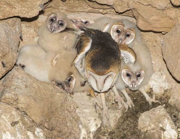 Barn Owl and 6 Chicks - Count the Heads!