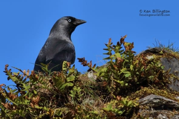 Eurasian Jackdaw, Corvus Monedula
