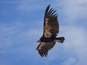 California Condor Gymnogyps Californianus
