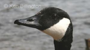 Canada Goose (Branta canadensis) (1).jpg