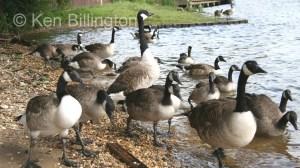 Canada Goose (Branta canadensis) (2).jpg