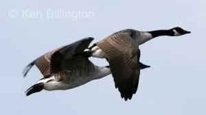 Canada Goose (Branta canadensis) (4).jpg