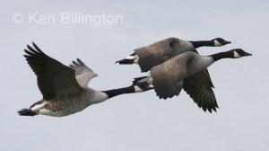 Canada Goose (Branta canadensis) (6).jpg