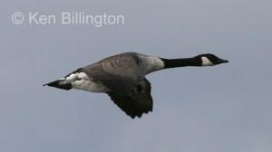 Canada Goose (Branta canadensis) (8).jpg
