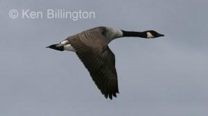 Canada Goose (Branta canadensis) (9).jpg