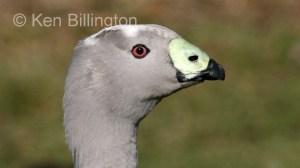 Cape Barren Goose (Cereopsis novaehollandiae) (2).jpg