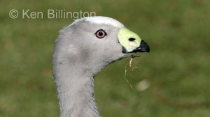 Cape Barren Goose (Cereopsis novaehollandiae) (3).jpg