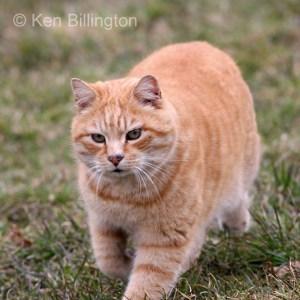 Cat (Felis catus) (1)