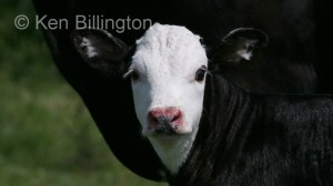 Cattle (Bos taurus) (2)