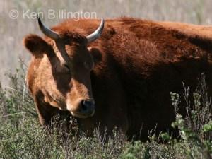 Cattle (Bos taurus) (3)
