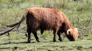 Cattle (Bos taurus)