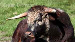 Cattle (Bos taurus) (7)
