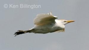 Cattle Egret (Bubulcus ibis) (02)