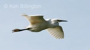 Cattle Egret (Bubulcus ibis) (03)
