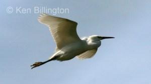 Cattle Egret (Bubulcus ibis) (04)
