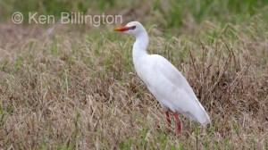 Cattle Egret (Bubulcus ibis) (08)