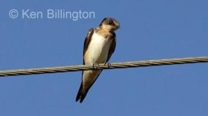 Cave Swallow Petrochelidon fulva