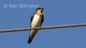 Cave Swallow (Petrochelidon fulva) (3)