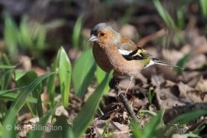 Chaffinch Fringilla coelebs (16)