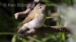Juvenile Chiffchaff (Phylloscopus collybita) (16)