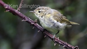 Juvenile Chiffchaff (Phylloscopus collybita) (17)