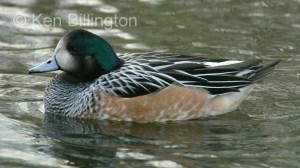 Chiloe Wigeon (Anas sibilatrix)