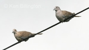 Collared Dove (Streptopelia decaocto) (1)