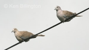 Collared Dove (Streptopelia decaocto) (2)