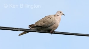 Collared Dove (Streptopelia decaocto) (4)