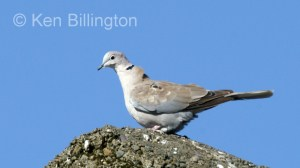 Collared Dove (Streptopelia decaocto) (6)