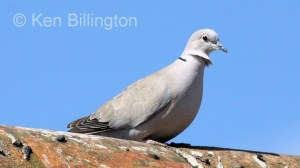 Collared Dove (Streptopelia decaocto) (9)