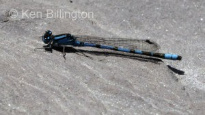 Common Blue Damselfly (Enallagma cyathigerum) (3).jpg