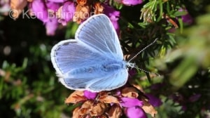Common-Blue-