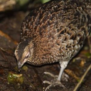 Copper Pheasant (female)