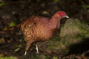 Copper Pheasant Syrmaticus soemmerringii