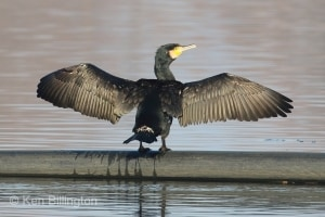 Great Cormorant Phalacrocorax carbo