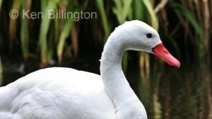 Coscoroba Swan (Coscoroba coscoroba) (2).jpg