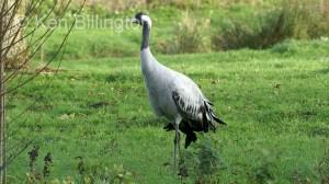 Common Crane (Grus grus) (01)
