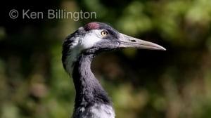 Common Crane (Grus grus) (02)