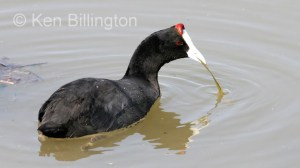 Red-knobbed Coot Fulica cristata