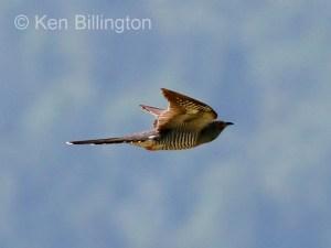 Common Cuckoo (Cuculus canorus) (01)