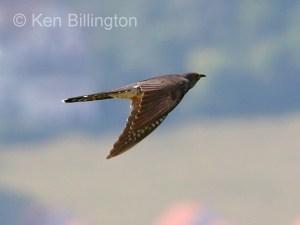 Common Cuckoo (Cuculus canorus) (02)