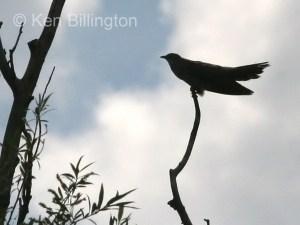 Common Cuckoo (Cuculus canorus) (04)
