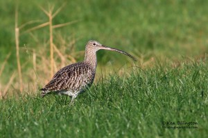 Curlew Numenius arquata