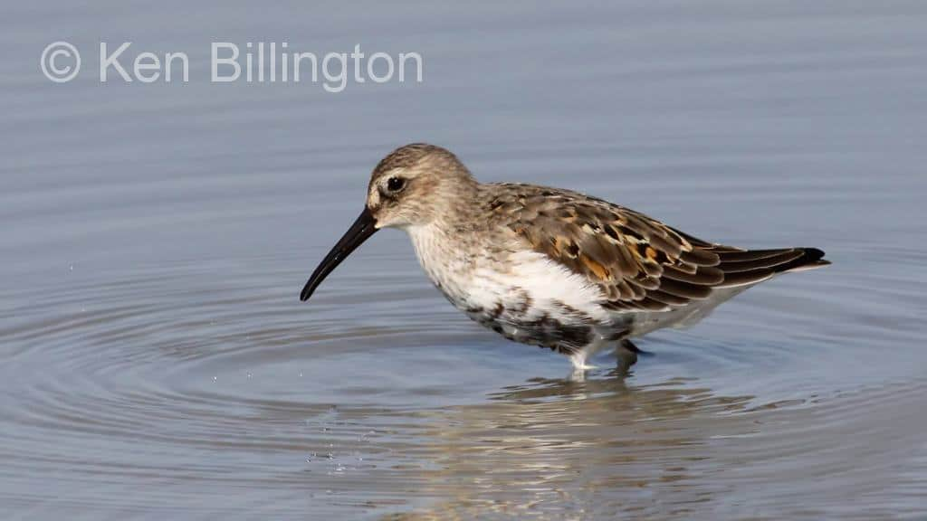 Dance of the Dunlins by Ray Hamlyn