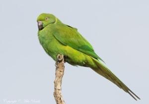 Echo Parakeet Psittacula Eques (EN)