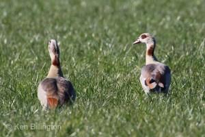 Egyptian Goose (Alopochen aegyptiacus) (05).jpg