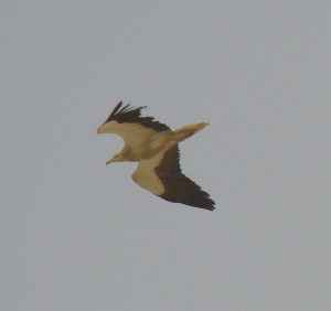 Egyptian Vulture (Neophron percnopterus)